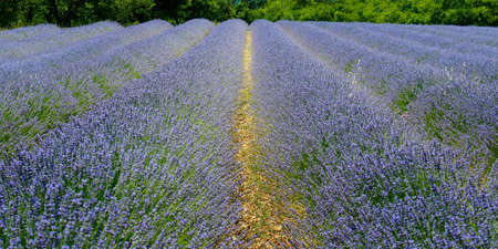 plantation of bunch of lavender in provence -south of france -