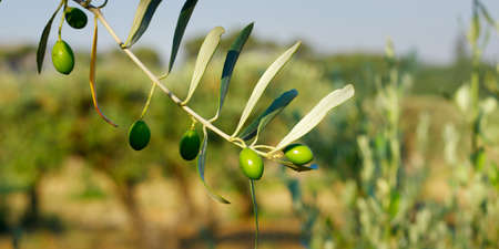 green olives growing in olive tree, in mediterranean landscape Stockfoto