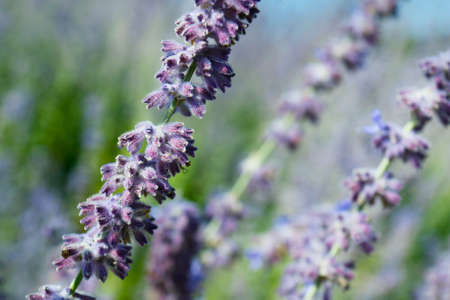 close up of lavender flower in provence - south of france -