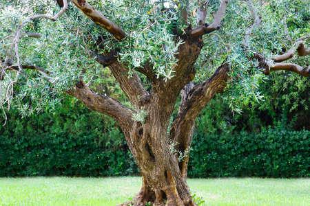 olive tree plantation, in provence-france Reklamní fotografie