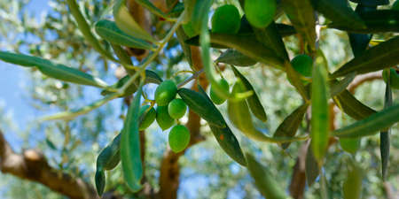 green olives growing in olive tree, in mediterranean plantation Reklamní fotografie