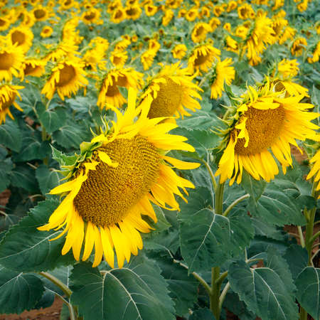 FIELD SUNFLOWERS, DURING SUMMER SEASON IN PROVENCE -FRANCE