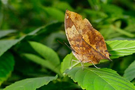 dead leaf butterfly on a green leaf Reklamní fotografie