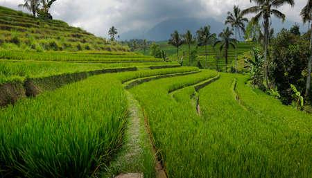 View of green rice field in Bali, near jatiluwih - Indonesia