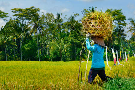 Balinese worker with rice hat harvesting rice, rice field