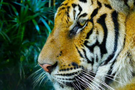 head of Bengal tiger in the rainforest Banque d'images - 138093741