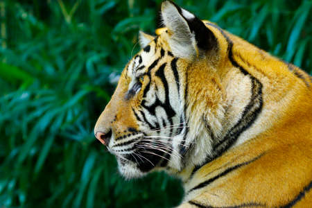 head of Bengal tiger in the rainforest Banque d'images - 138096647