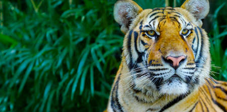 head of Bengal tiger in the rainforest Banque d'images - 138096597