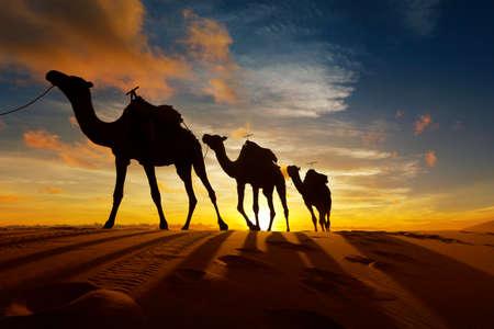 Kamelkarawane in der Sahara in Marokko bei Sonnenuntergang