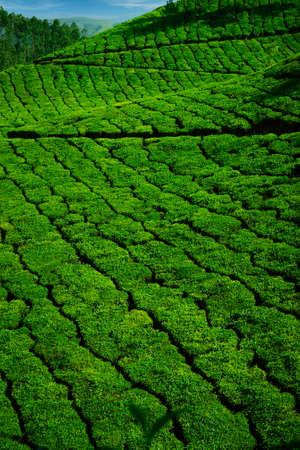 Tea plantation with green fresh leaves in Munar-India