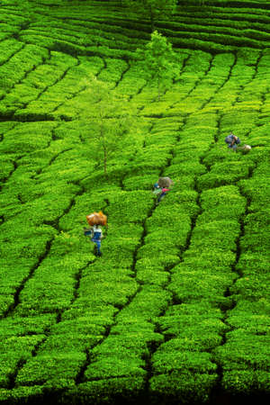 Worker picking tea leaves in Tea plantation at Munar-India