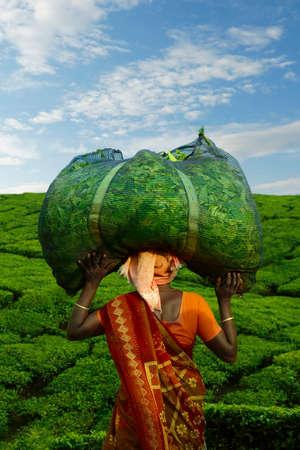 Worker carrying tea leaves in bag at Munar tea plantation-India Stock fotó - 156278689