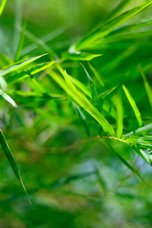 close up of green bamboo leaves in the rainforest
