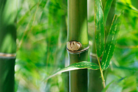 close up of green bamboo sticks in the rainforest Stock fotó - 158394419
