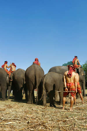 """In the city of Surin, located in the north east of Thailand -isan-, during November from the 20 until the 22, in the year of 2020, It was the """"elephant round up festival 2020"""""""