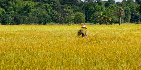 asian worker, working in rice field during the harvesting season