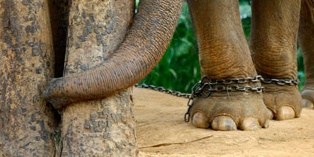 close up of feet of elephant with chain