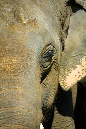 close up of head of asian elephant
