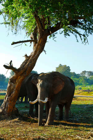 asian elephant in the wildlife