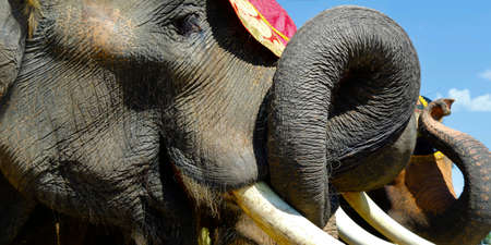 close up of ivory tusk and trunk of asian elephant