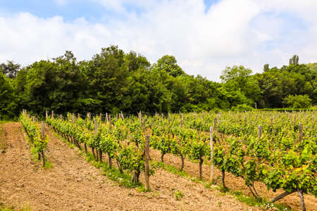 Rows of young vineyard. Vineyard in the Balkans in summer day Stock Photo - 126222707