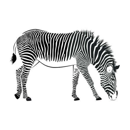 Zebra on white background. Vector illustration Standard-Bild - 134391406