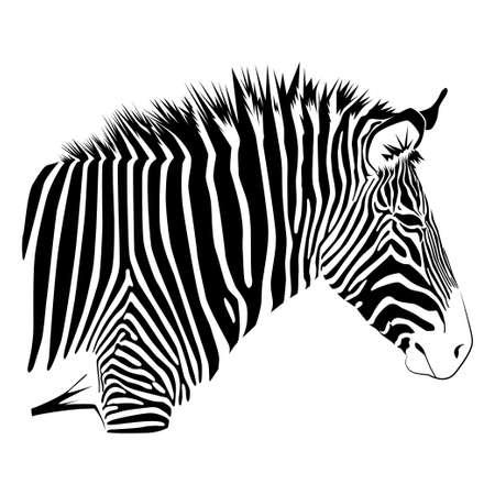 Zebra isolated on white background. Vector illustration EPS10 Standard-Bild - 132568864