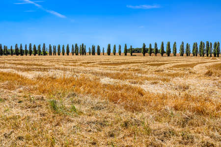 Landscape with cypresses along the road, yellow fields and blue skies
