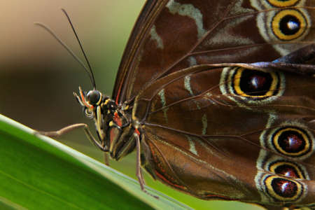 Morpho peleides butterfly photo