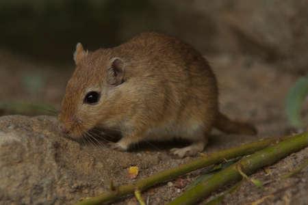 Mogonian Gerbil Mouse