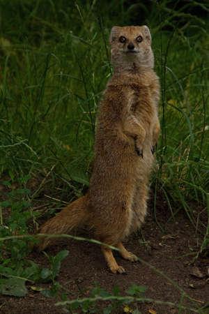 mangosta: Yellow Mongoose Foto de archivo