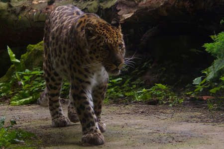the amur: Amur Leopard