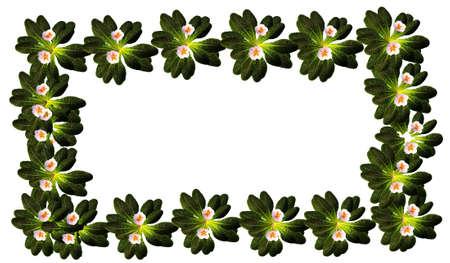 primrose: frame of primrose flowers Stock Photo