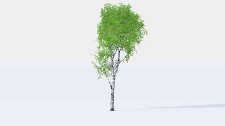 birch bark: birch tree