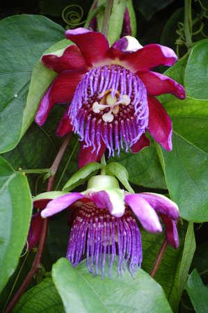 passiflora: Ruby Glow