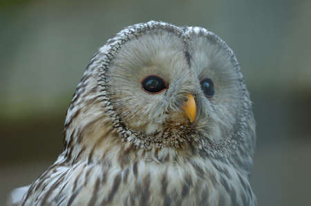 ural owl: Ural Owl