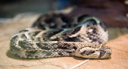 brothel: Kenya horned viper  Stock Photo