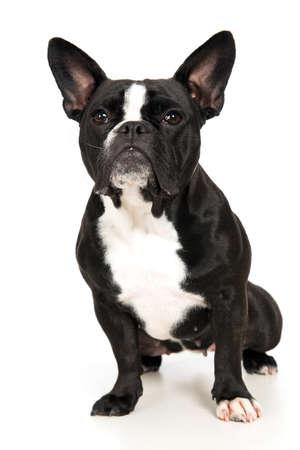snappy: French bulldog