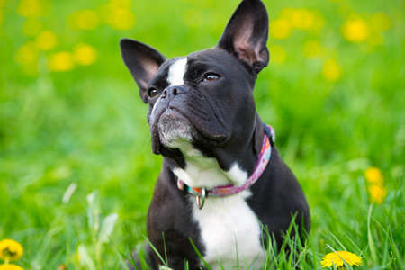 snappy: French bulldog in a spring meadow