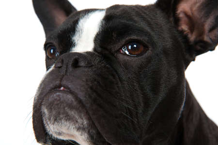 snappy: Portrait of a French Bulldog