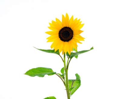 yellow sunflower in front of white background 版權商用圖片