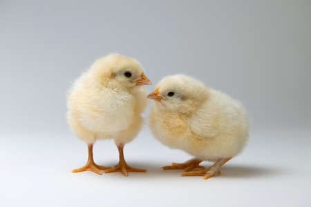 two little yellow chicks in front of bright background