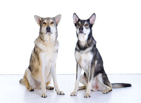 two wolfhounds in front of white background Stock Photo