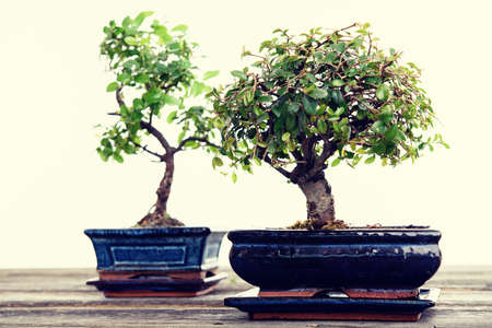 Chinese elm and sagaretie bonsai in blue bowl on wooden board in front of white background Banque d'images