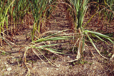 drought corn field in a hot summer