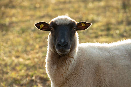Rhoen- sheep with black and white wool looking in to the camera Stock Photo