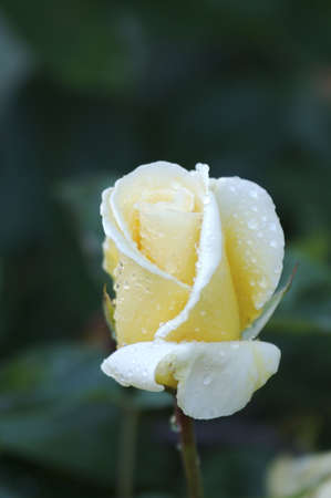 Close-up of a yellow rose