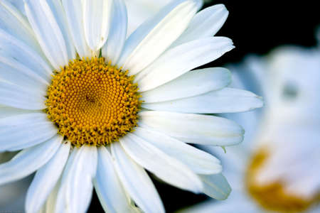 Top view of a white daisy Stock Photo