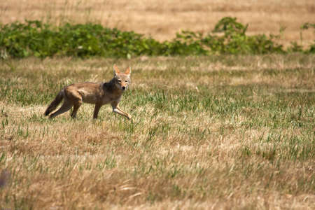 Red fox on the prowl