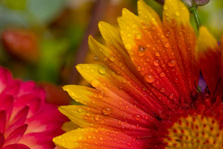 Close-up of orange, yellow, and pink flowers with water droplets